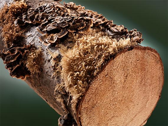 Fruchtkörper von holzzerstörenden Pilzen
