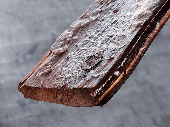 Oberflächenmyzel eines holzzerstörenden Pilzes