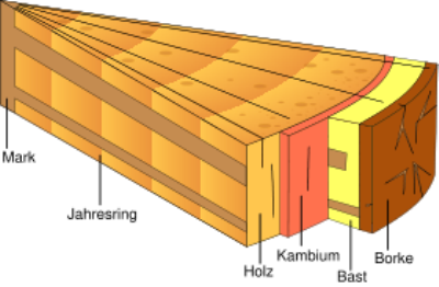 Anatomischer Aufbau von Holz