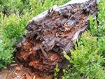 Wood destroying Gloeophyllum on tree trunk