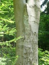 Bark on a beech (Fagus sylvatica)