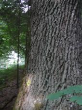 Bark of an oak tree (Quercus spp.)