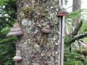 Wood destroying fungus on tree trunk