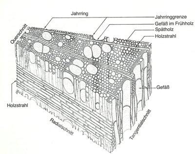 Aufbau von Laubhölzern