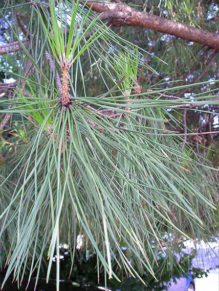 The needles of the common pine (Pinus sylvetris)