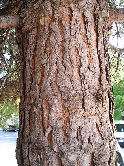 The trunk of the common pine (Pinus sylvetris)
