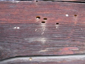 Flight holes house longhorn beetle