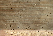 Damage pattern house longhorn beetle infestation
