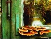 Bracket fungus fruiting body on a window frame