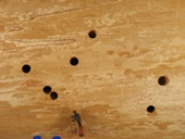 Excursion holes of the wood wasp