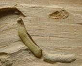 Wood wasp larva